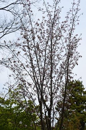 大山桜(オオヤマザクラ)?