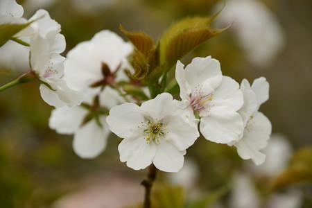 有栖川宮邸跡の桜