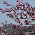Photos: 関山と普賢象