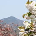 Photos: 八重桜と比叡山