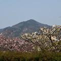Photos: 高野川の八重桜