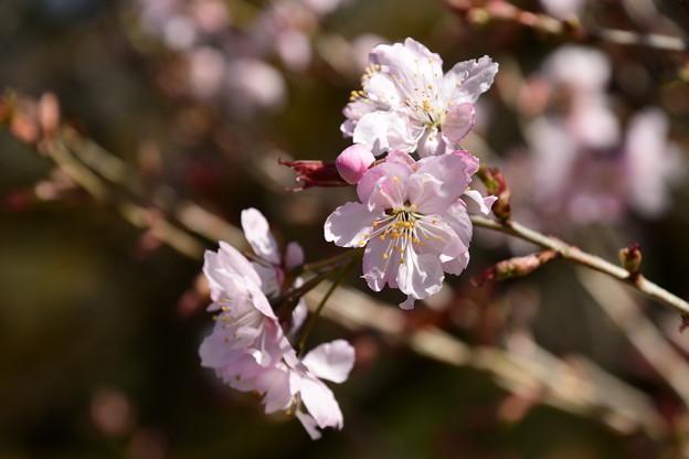 アキヒメザクラ(彬姫桜)1