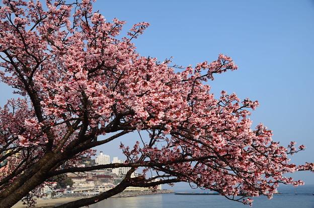 アタミカンザクラ(熱海寒桜)1(熱海)