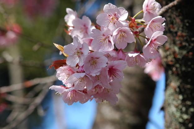 アタミカンザクラ4(熱海寒桜)