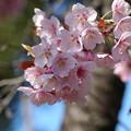 Photos: アタミカンザクラ4(熱海寒桜)