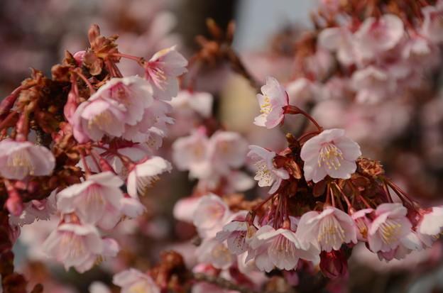 アタミカンザクラ(熱海寒桜)3