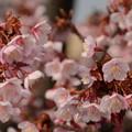 Photos: アタミカンザクラ(熱海寒桜)3