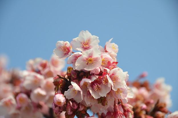 アタミカンザクラ(熱海寒桜)2
