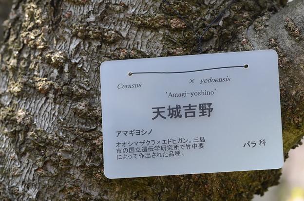 アマギヨシノ(天城吉野)