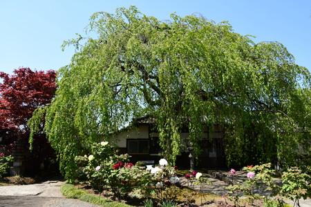葉桜と牡丹の本満寺