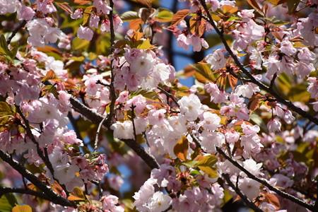 慈福寺の八重桜