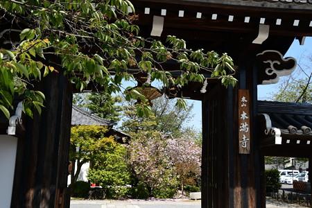 関山咲く本満寺
