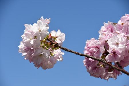 宮内庁事務所の八重桜