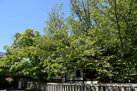 新緑の本満寺