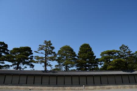 京都御所の松たち