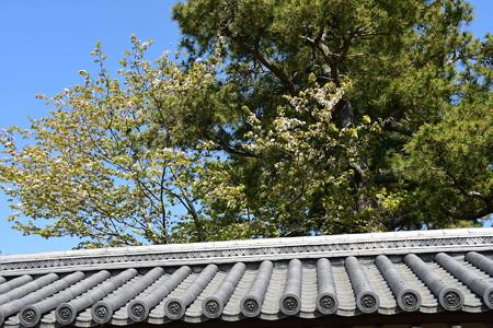 大宮御所の桜
