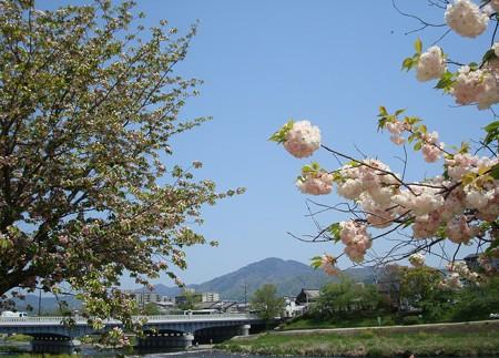松月(右)と兼六園菊桜