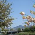 Photos: 松月(右)と兼六園菊桜