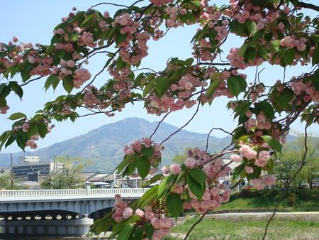 兼六園菊桜の中の比叡山
