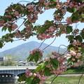 Photos: 兼六園菊桜の中の比叡山