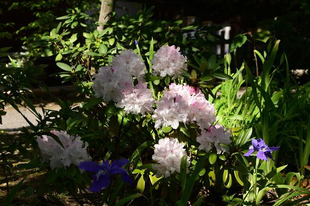 Photos: 石楠花と鳶尾