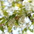 Photos: 霞桜(カスミザクラ)