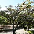 Photos: 突羽根咲く平野神社
