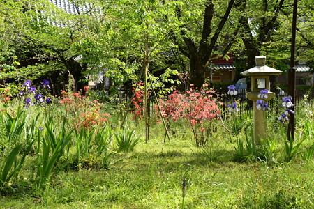 桜園の躑躅とジャーマンアイリス