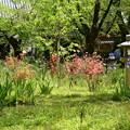 Photos: 桜園の躑躅とジャーマンアイリス