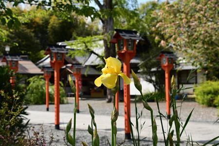 ジャーマンアイリス咲く平野神社