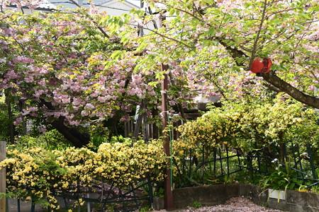 普賢象と黄木香薔薇の千本ゑんま堂