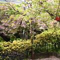 Photos: 普賢象と黄木香薔薇の千本ゑんま堂