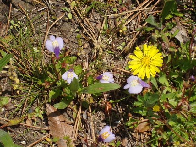 紫鷺苔(ムラサキサギゴケ)と蒲公英(タンポポ)