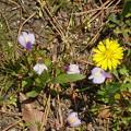 Photos: 紫鷺苔(ムラサキサギゴケ)と蒲公英(タンポポ)