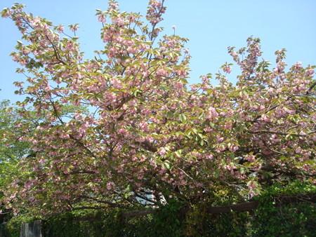 兼六園菊桜(ケンロクエンキクザクラ)