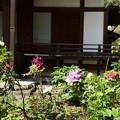 Photos: 牡丹の西雲院