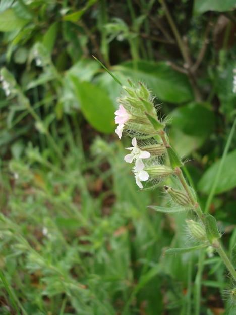 白花マンテマ(シロバナマンテマ)