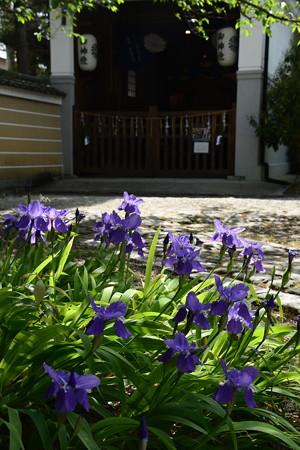 鳶尾咲く上御霊神社