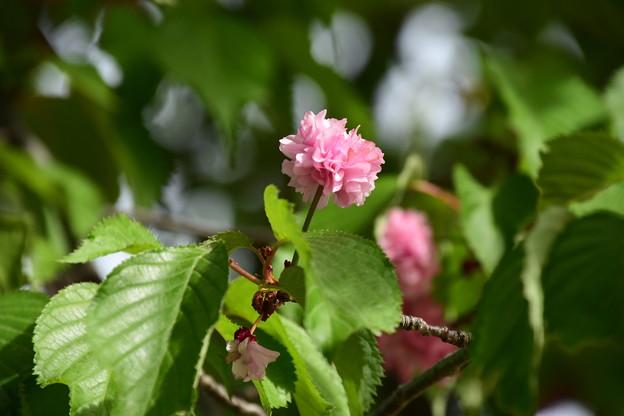 奈良の八重桜(ナラノヤエザクラ)?