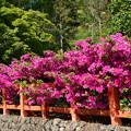 大田神社の躑躅