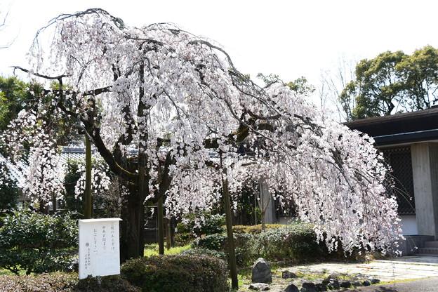 イトザクラ(糸桜)4