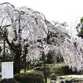 Photos: イトザクラ(糸桜)4