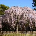 Photos: イトザクラ(糸桜)3