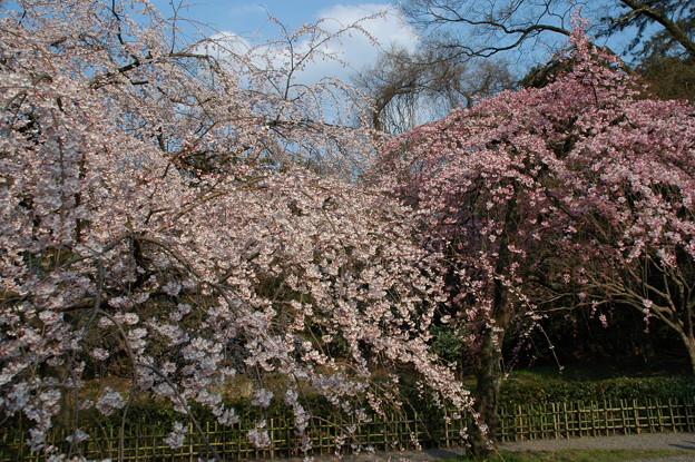 イトザクラ(糸桜)2