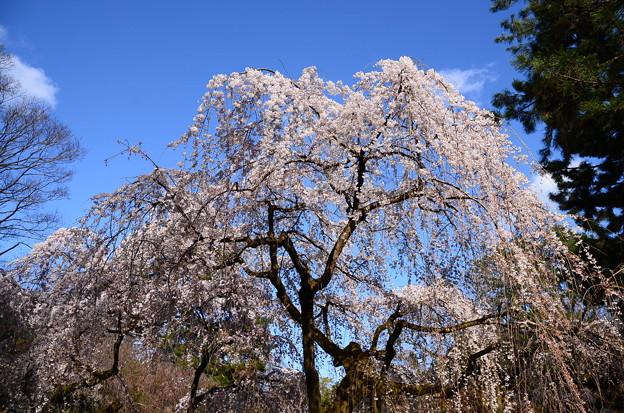 イトザクラ(糸桜)1