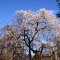 Photos: イトザクラ(糸桜)1