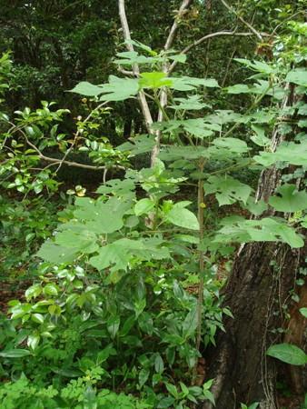 梶の木(カジノキ)