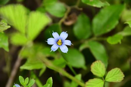 藍色庭石菖(アイイロニワゼキショウ)