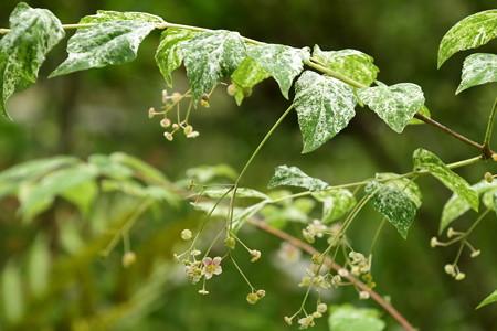 斑入りの吊り花(ツリバナ)