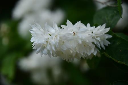 白花八重空木(シロバナヤエウツギ)